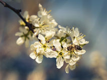 Bee pollinates a flower cherry closeup Royalty Free Stock Image