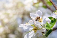 Bee pollinates a flower and collects nectar. Bee pollinates a flower and collects nectar on blurred background Stock Image