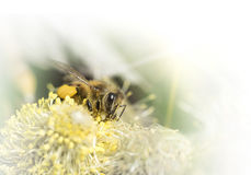 Bee pollinates a flower plant in spring on a sunny day. Royalty Free Stock Photo