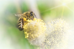 Bee pollinates a flower plant in spring on a sunny day. Macro photo stock images