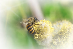 Bee pollinates a flower plant in spring on a sunny day. Macro photo royalty free stock photography