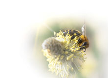 Bee pollinates a flower plant in spring on a sunny day. Stock Images