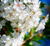 Bee pollinates flowers of apple trees in spring sunny royalty free stock image