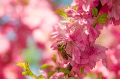 The bee pollinates flowers of the pink, Siberian Sakura stock image