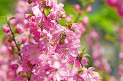The bee pollinates flowers of the pink, Siberian Sakura royalty free stock images