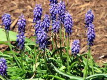 A Bee Pollinates a Grape Hyacinth Royalty Free Stock Image