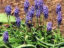 A Bee Pollinates a Grape Hyacinth Stock Image