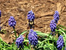 A Bee Pollinates a Grape Hyacinth Royalty Free Stock Photo