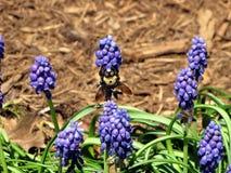 A Bee Pollinates a Grape Hyacinth Royalty Free Stock Photo
