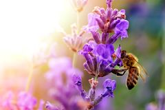 The bee pollinates the lavender flowers. Plant decay with insects. The bee pollinates the lavender flowers. Plant decay with insects royalty free stock photography