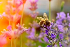 The bee pollinates the lavender flowers. Plant decay with insects. The bee pollinates the lavender flowers. Plant decay with insects royalty free stock images