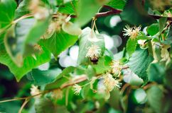 A bee pollinates a linden flower. A branch of linden tree close-up royalty free stock photos