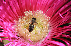 Bee Pollinates Pink Flower Stock Images