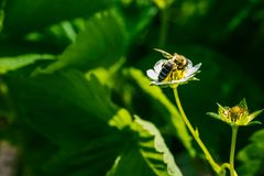 The bee pollinates the strawberry flower. Insect on a white flower.  royalty free stock photo