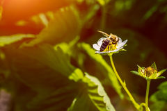 The bee pollinates the strawberry flower. Insect on a white flower.  royalty free stock image