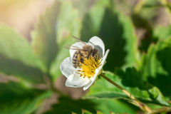 The bee pollinates the strawberry flower. Insect on a white flower. The bee pollinates the strawberry flower. Insect on a white flower royalty free stock image