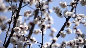 The bee pollinates tree flowers. Spring. Sunny day. Nature. Close up. It is removed in move. stock video footage