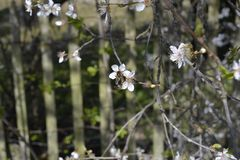 Bee. Pollinates which white flowers of cherry blossoms Stock Photo