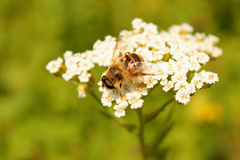 Bee pollinates white inflorescence Stock Images