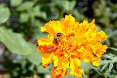 Bee pollinates a yellow flower on a blurred background Royalty Free Stock Image