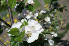 Bee pollinating apple blossoms Royalty Free Stock Images
