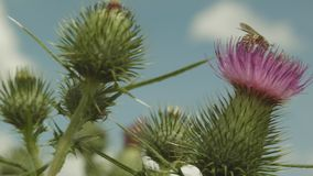 Bee Pollinating The Arctium Minus On A Summer Day. Close Up Of A Bee Pollinating The Arctium Minus. Puffy White Clouds In The Sky On A Sunny Summer Day stock video footage