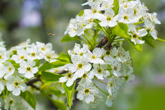 Bee Pollinating Blooming Flowers Stock Photography