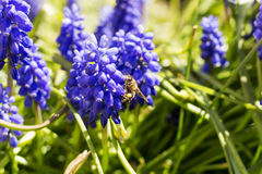 Bee pollinating blue flower blue. Sunny day Stock Image