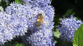 Bee pollinating blue flowers. In a garden stock footage