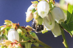 Bee Pollinating Blueberry Blossoms Stock Image