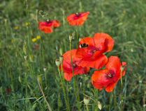 Bee pollinating bright red poppy fllower in field Royalty Free Stock Images