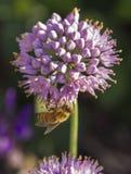 Bee pollinating Broadleaf Wild Leek. A bee pollinating a purple flower in a garden Stock Photo