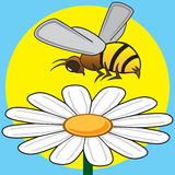 Bee Pollinating. Busy bee is hovering over a daisy in the sun Royalty Free Stock Photo