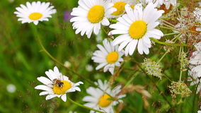 Bee Pollinating Chamomile. stock video