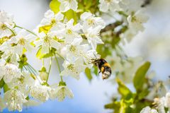 Bee pollinating cherry blossom