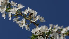 Bee pollinating cherry blossom. Close up view on dark blue sky background stock video footage