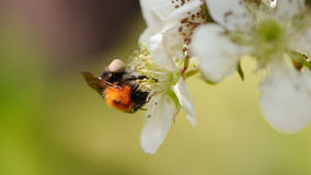 Bee Pollinating Cherry Flowers Close-Up Royalty Free Stock Photo