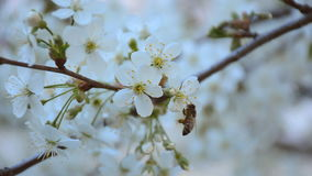 Bee pollinating cherry tree in the spring garden. HD video footage 1080p.  stock video
