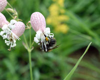 Bee sitting on closed flower bud Royalty Free Stock Image