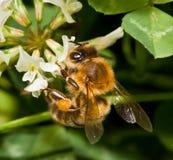 Bee pollinating clover Royalty Free Stock Photos
