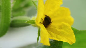 Bee pollinating cucumbers. Bee pollinating cucumbers HD. Close up stock video footage