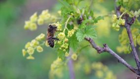Bee pollinating a currant stock video footage