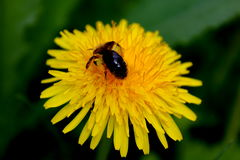 Bee pollinating dandelion Royalty Free Stock Photography
