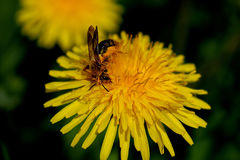 Bee pollinating dandelion Royalty Free Stock Photos