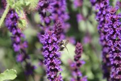 A bee pollinating a english lavender plant. In a field of lavender royalty free stock images