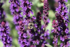 A bee pollinating a english lavender plant. In a field of lavender royalty free stock photography