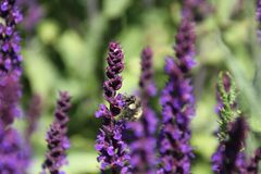 A bee pollinating a english lavender plant. In a field of lavender stock image