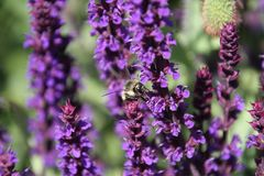 A bee pollinating a english lavender plant. In a field of lavender royalty free stock photos