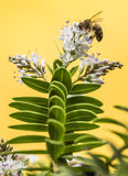 Bee pollinating Stock Images