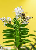 Bee pollinating Royalty Free Stock Photos